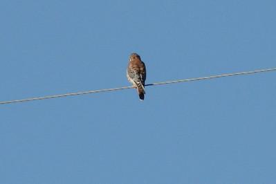 October 11, 2010 ; (Bobcat Ridge Natural Area / Masonville, Larimer County, Colorado) -- American Kestrel