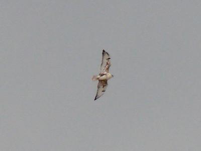October 10, 2010 - (Pawnee National Grasslands [Colorado Road #114] / Weld County, Colorado) -- Ferruginous Hawk