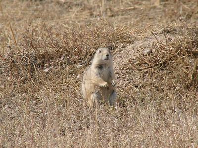 October 9, 2010 - (Pawnee National Grasslands / Nunn, Weld County, Colorado) -- Prairie Dog