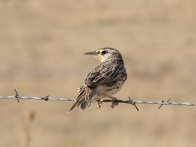 October 9, 2010 - (Pawnee National Grasslands [Intersection of Roads 85 & 114] / Weld County, Colorado) -- Western Meadowlark