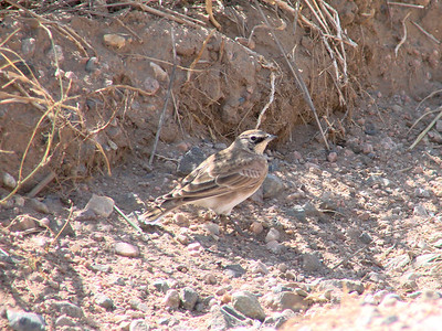 October 9, 2010 - (Pawnee National Grasslands [Intersection of Roads 85 & 114] / Weld County, Colorado) -- McGown's Longspur