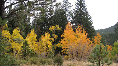 "October 12, 2010 - (Rocky Mountain National Park [Cow Creek Trail] / Larimer County, Colorado) -- Aspen trees look like ""burning bushes"""