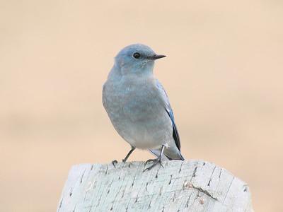 October 12, 2010 - (Estes Park [Devil's Gulch Road] / Estes Park, Larimer County, Colorado) -- Mountain Blue Bird