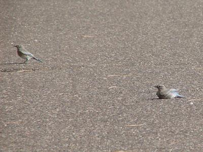 October 10, 2010 - (Wyoming Hereford Ranch / Cheyenne, Laramie County, Wyoming) -- Mountain Bluebirds