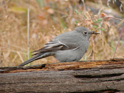 October 12, 2010 - (Rocky Mountain National Park [Cow Creek Trail] / Larimer County, Colorado) -- Townsend's Solitaire having dinner