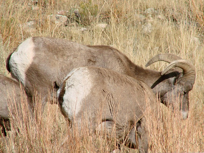 October 11, 2010 - (Estes Park [Hwy 34] / Larimer County, Colorado) -- Male Bighorn sheep at side of road