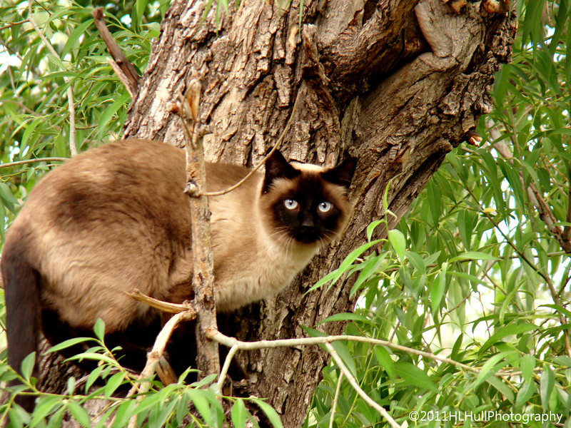 Pumpkin, a neighbors' beautiful siamese cat, spent a lot of time in Margaret and Skips' tree(s). I think he had bird on his mind!