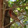 house finch...