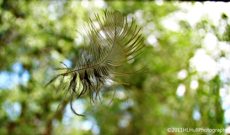 While visiting one afternoon, we heard this loud THUD...some poor little bird flew smack into the porch window! After gathering its senses, apparently unhurt, it flew away : ) This feather, stuck to the glass, was the only reminder of the collision...
