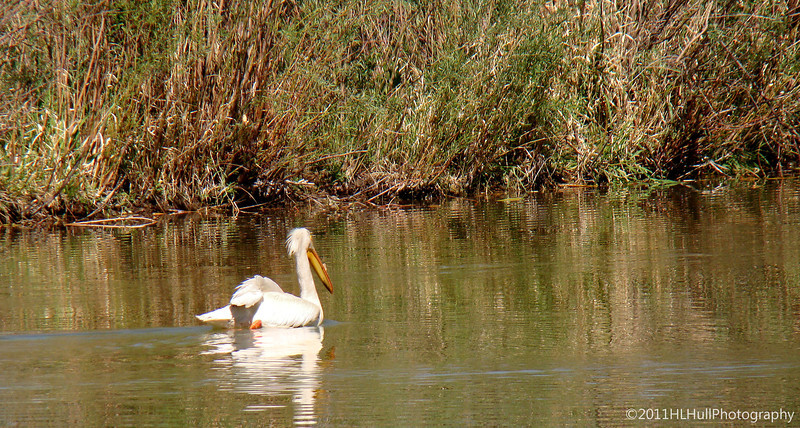 American White Pelican, near Salida, Colorado