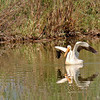 American White Pelican, near Salida, Colorado