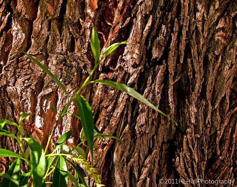 willow tree bark...<br /> <br /> shot taken in Margaret and Skips' front yard.