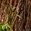willow tree bark...<br /> <br /> shot taken in Margaret and Skips' front yard.