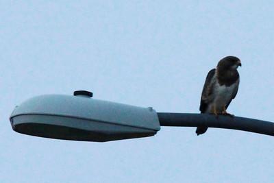 Swainson's Hawk @ Ogallala Beach Road