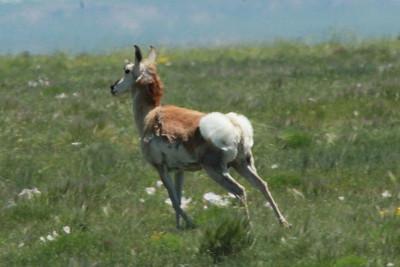 June 5, 2014 - (Pawnee National Grasslands [Murphy's Pasture] / Briggsdale, Weld County, Colorado) -- Pronghorn