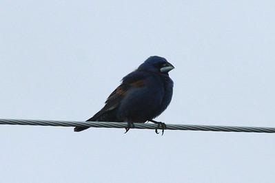 Blue Grosbeak (Male) @ Ogallala Beach Road