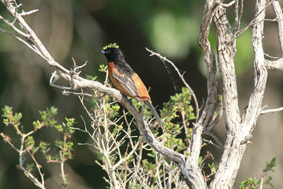 Orchard Oriole (Male) @ Lake Ogallala SRA