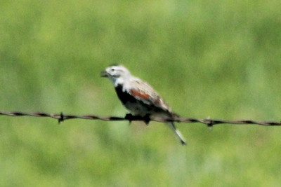 June 5, 2014 - (Pawnee National Grasslands [Murphy's Pasture] / Briggsdale, Weld County, Colorado) -- McGown's Longspur