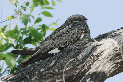 Common Nighthawk @ Pawnee NG [Crow Valley Campground]