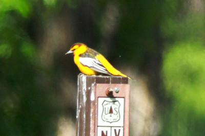 Bullock's Oriole @ Pawnee NG [Crow Valley Campground]