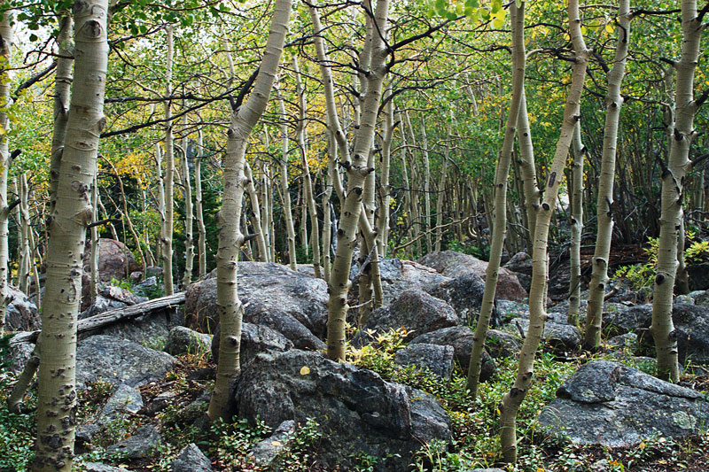 Aspen grove growing in the very rough terrain of a terminal moraine.