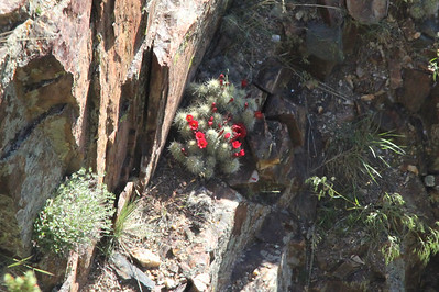 June 6, 2014 - (Black Canyon of the Gunnison National Park [visitor center overlook] / Montrose, Montrose County, Colorado) -- Cactus in bloom