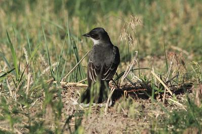 Eastern Kingbird @ Lake Ogallala SRA