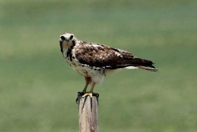 2014; June 2014; Colorado; Weld County; Briggsdale; Murphy's Pasture; Pawnee National Grasslands; Juvenile Swainson's Hawk