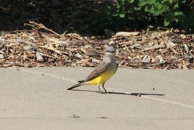 Western Kingbird @ Lake McConaughy SRA [Visitor Center]