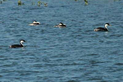 Western Grebes @ Lake Ogallala SRA