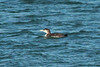 June 4, 2014 - (Lake McConaughy State Recreation Area / Ogallala, Keith County, Nebraska) -- Common Loon