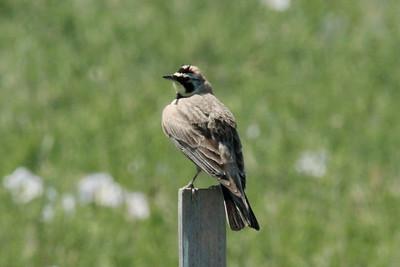 June 5, 2014 - (Pawnee National Grasslands [Murphy's Pasture] / Briggsdale, Weld County, Colorado) -- Horned Lark