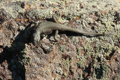 June 6, 2014 - (Black Canyon of the Gunnison National Park [visitor center overlook] / Montrose, Montrose County, Colorado) -- Ornate tree lizard (Urosaurus ornatus)