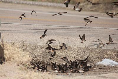 Cliff Swallows [collecting mud] @ Lake McConaughy SRA