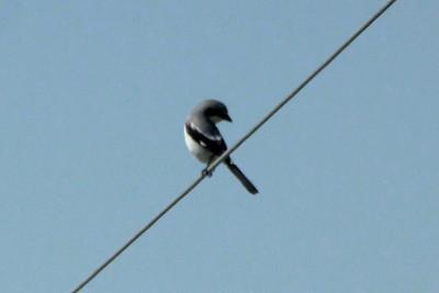 Loggerhead Shrike @ Pawnee NG [Crow Valley Campground]