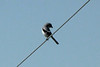 Loggerhead Shrike @ Pawnee NG [Crow Valley Campground]