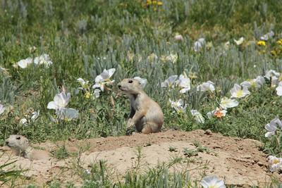 June 5, 2014 - (Pawnee National Grasslands [Murphy's Pasture] / Briggsdale, Weld County, Colorado) -- Prairie Dog