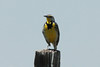 June 5, 2014 - (Pawnee National Grasslands [Murphy's Pasture] / Briggsdale, Weld County, Colorado) -- Western Meadowlark