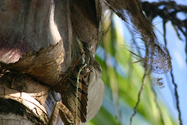 This Iguana, however was content to watch from a ways up a nearby palm tree.