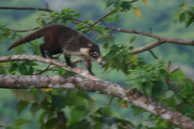 The next morning this critter was in the tree outside.  With a little research we found out he was a Coati.