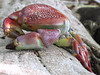 Another shot of the killer dead crab.