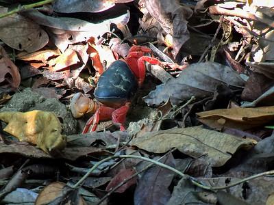 A land crab