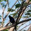 Hmmm, I feel like we were calling this one a Black Jay; however, it could be a Great-tailed Grackle (see next photo for better look). Anyone know?<br /> <br /> Parador Hotel in Manuel Antonio, Costa Rica, 2011