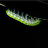 Catapillar. Look at it's face ... yikes. <br /> <br /> Night hike from Monte Verde Lodge. Costa Rica, 2011.