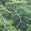 "Best guess: Ringed Kingfisher<br /> <br /> On the ""road""  from Arenal to Monte Verde, Costa Rica, 2011. Crossing Lake Arenal and then 4x4's to Monte Verde Lodge."