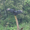 """Black Vulture drying out from the rain<br /> <br /> On the """"road""""  from Arenal to Monte Verde, Costa Rica, 2011. Crossing Lake Arenal and then 4x4's to Monte Verde Lodge."""