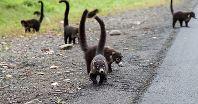Roadside Coatis