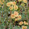 Buckwheat in bloom