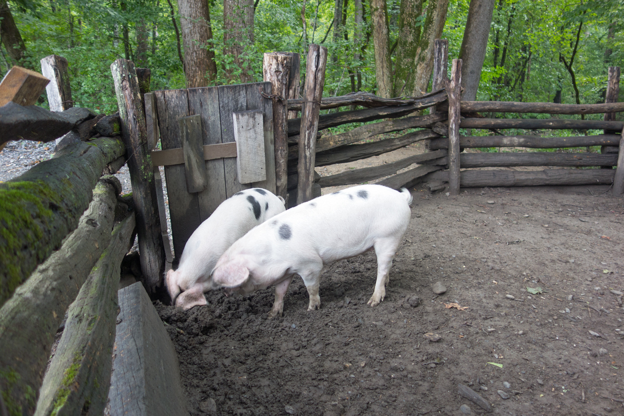 Piggies at the Great Smokey Mountains NP visitor center.