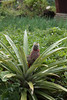 A young pineapple plant.